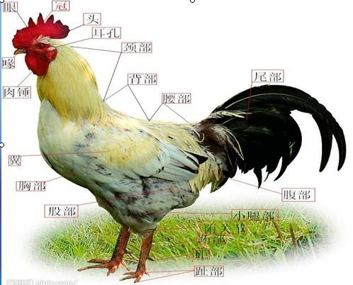 鸡解剖手绘图